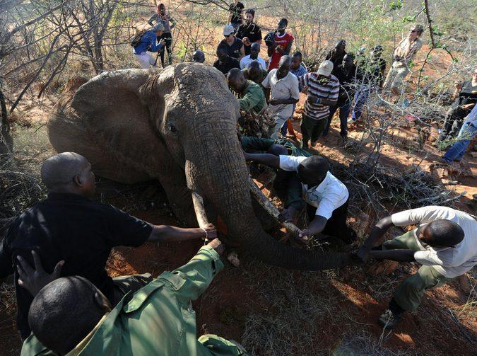 elephant, conservation, Kenya