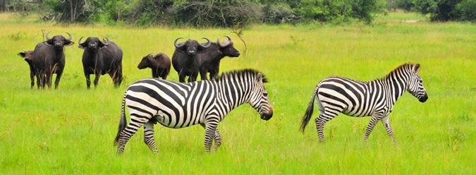 buffalo, zebra, Lake Mburo National Park, Uganda