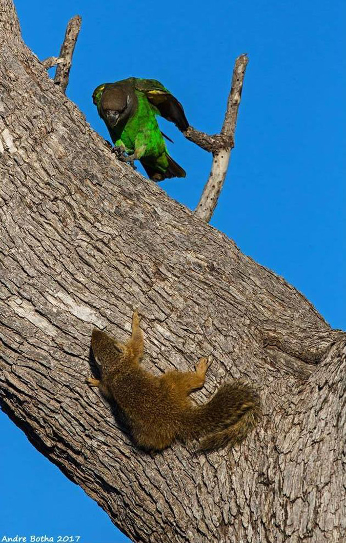 Brown-headed parrot, squirrel, South Africa, Kruger National Park