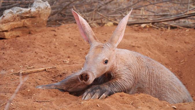 Aardvark, ZURI Orphanage, Namibia