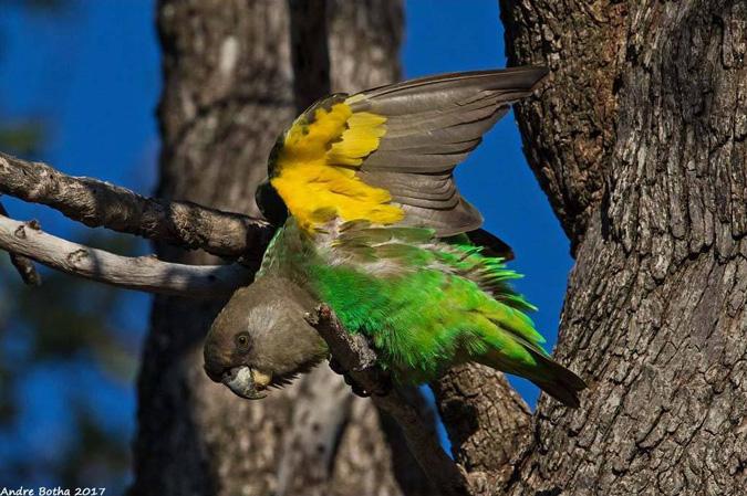 Brown-headed parrot, South Africa, Kruger National Park
