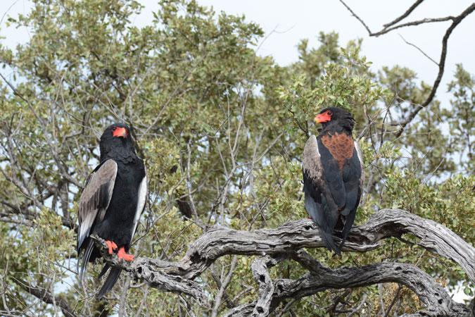 pair-raptors