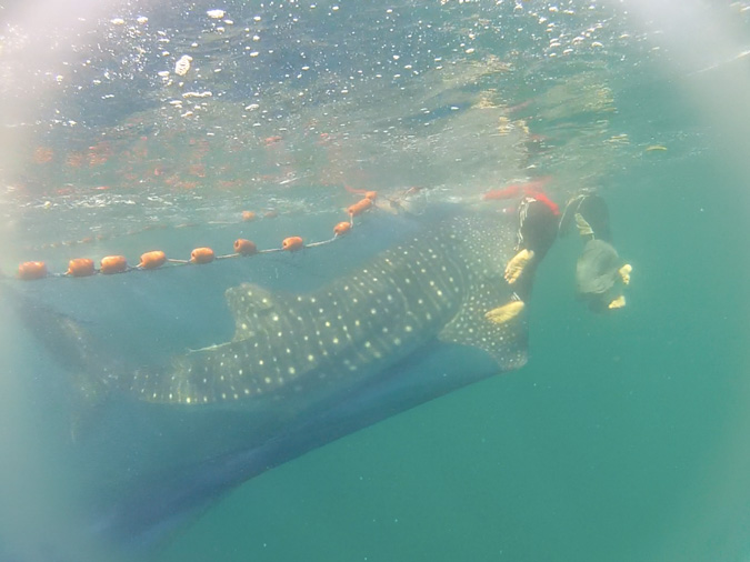 whale shark and fishing net, Mafia Island, Tanzania, conservation