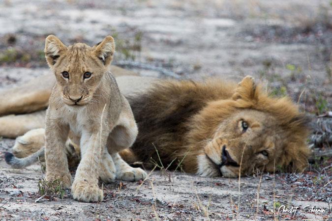 male-lion-cub