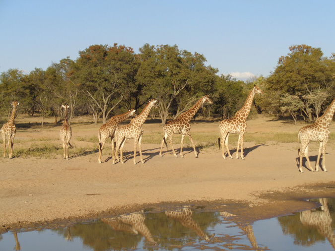 giraffes, Limpopo, The Ant's Collection
