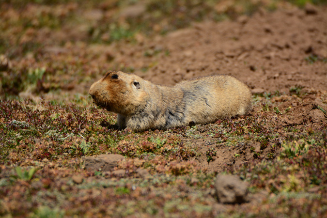 A big-headed mole-rat , Bale Mountains, Ethiopia