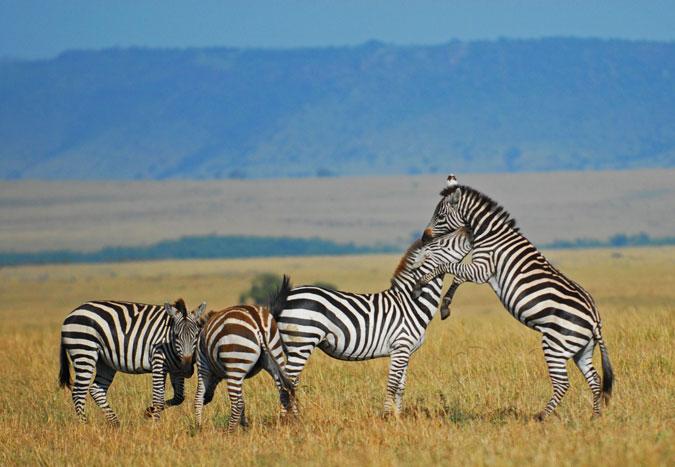 zebra, Africa, wildlife