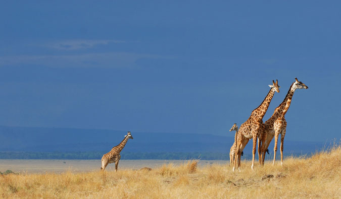 giraffe, Africa, wildlife