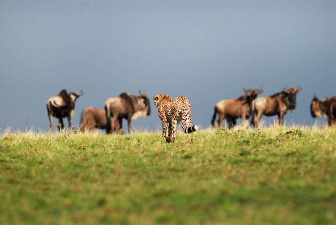 wildlife, big cat, herds, grassland, Africa