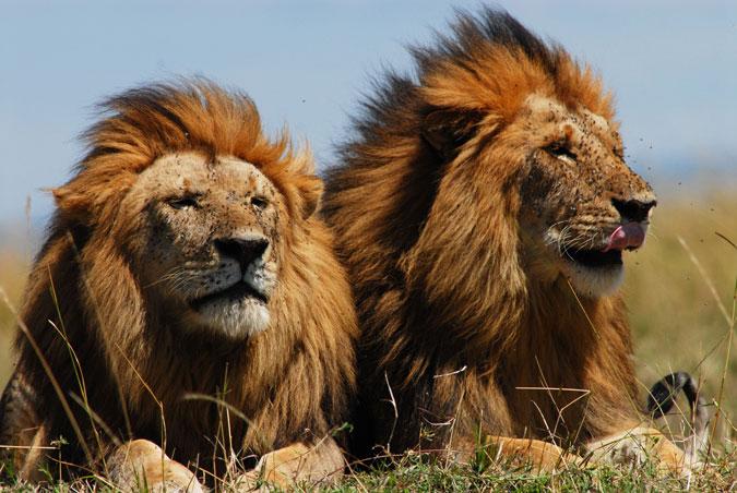 lions, Africa, wildlife
