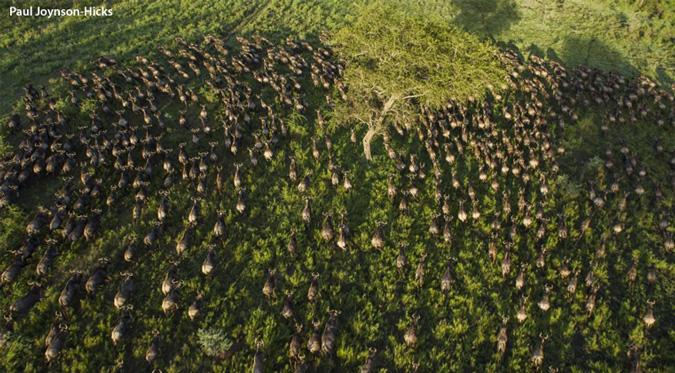 migration, wildlife, Maasai Mara, Serengeti
