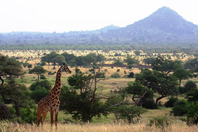 giraffe, Tarangire, Tanzania