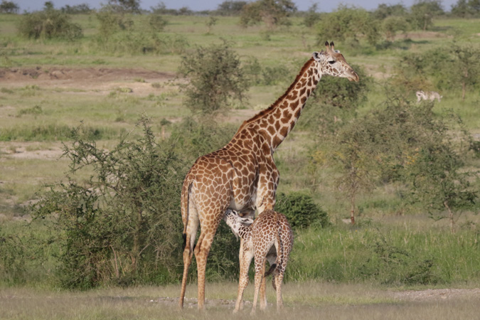 giraffe, mother and calf, Tanzania