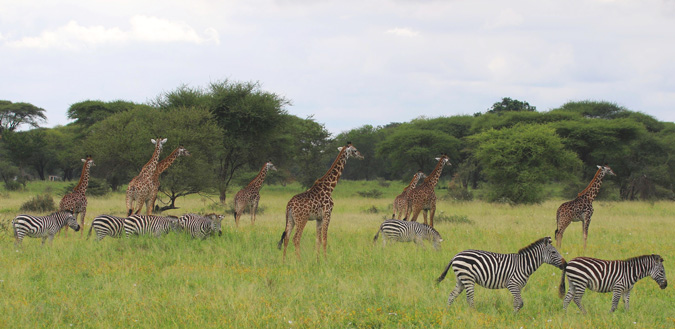 giraffe and zebra, Manyara Ranch