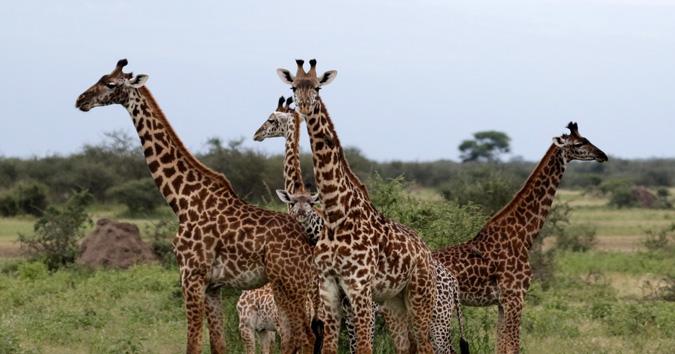 Giraffe males, Tarangire, Tanzania