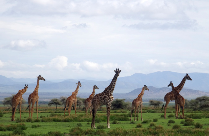 Giraffe, Ngorongoro Conservation area
