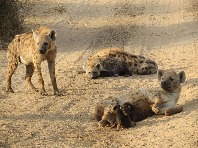 Image of: Spotted Hyenas Hyenas And Cubs Wildlife Zambia Africa Geographic The Birth Of Hyena Cubs The Good The Bad And The Gory Africa