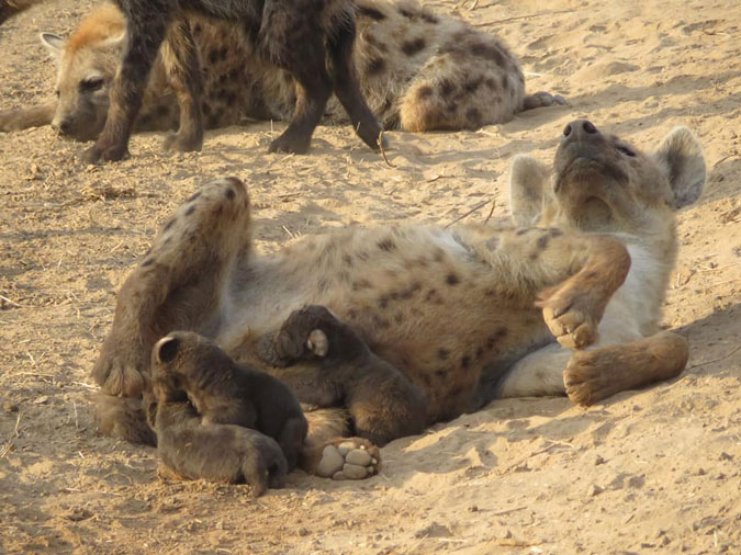 hyenas and cubs, wildlife, Zambia