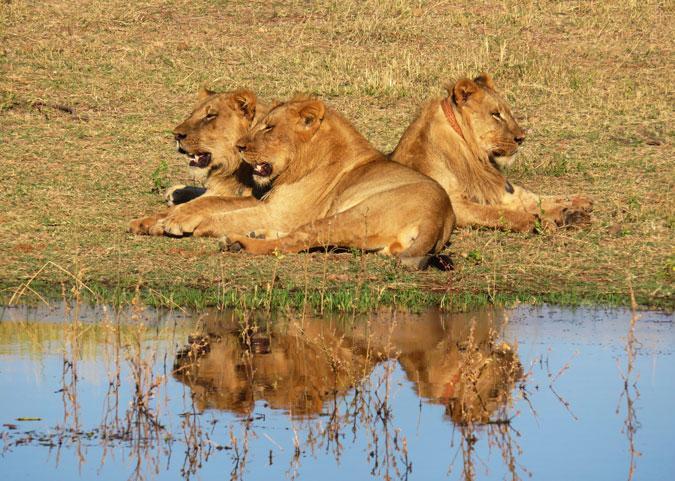 lions, Lake Kariba, Zimbabwe