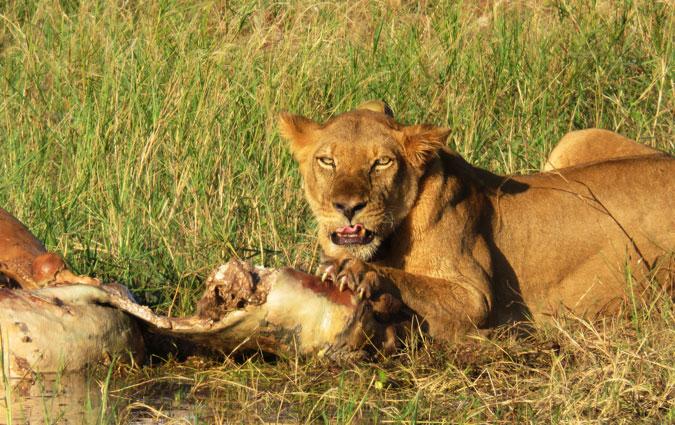 lion and deceased hippo, Lake Kariba, Zimbabwe
