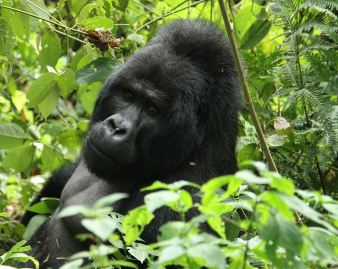 gorilla, silverback