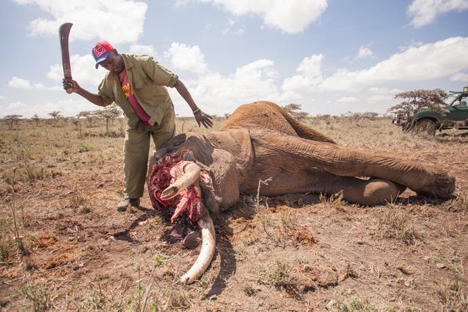 Elephant death, tusk removal