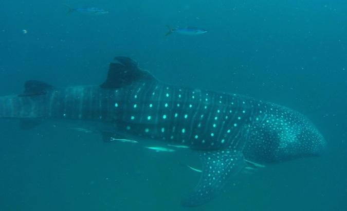whale shark, Mafia Island, Tanzania, conservation