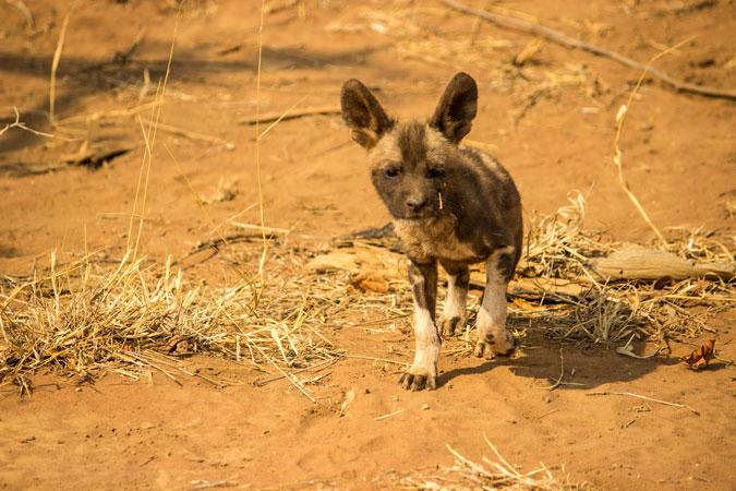 African wild dog, puppy