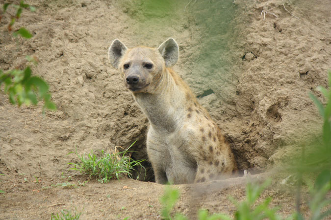 spotted hyena, Klaserie Private Nature Reserve, South Africa