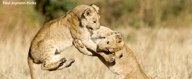 lion cubs playing, wildlife