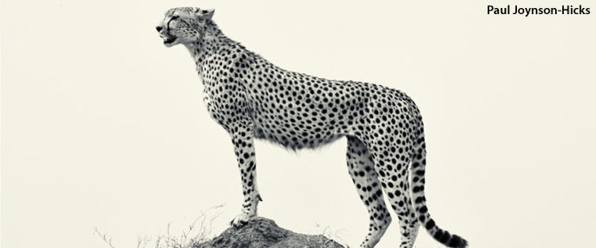 cheetah, wildlife photography