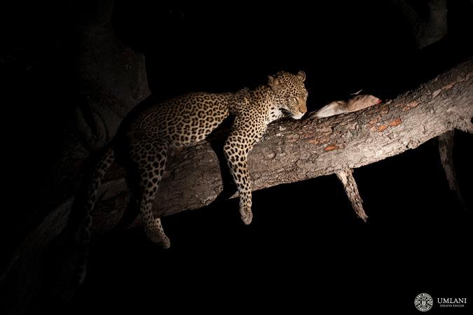 leopard, Umlani Bushcamp, Kruger NP, South Africa