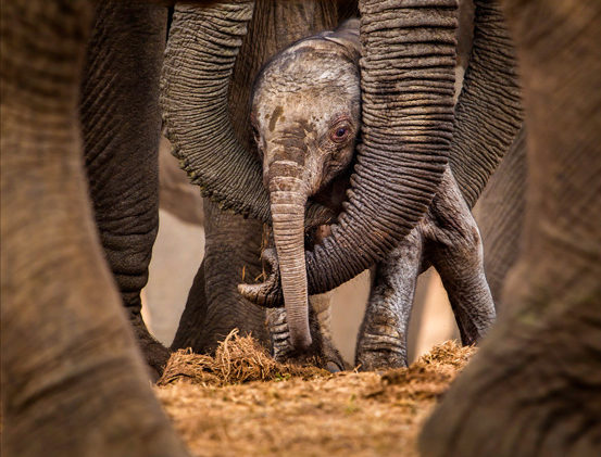 Elephant calf, Addo Elephant National Park, South Africa