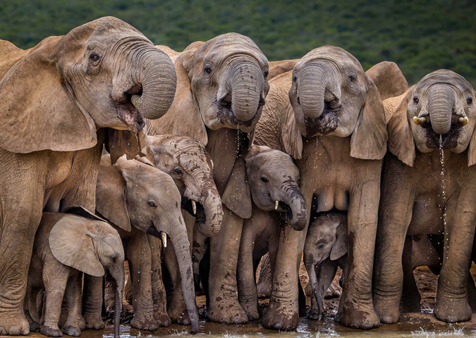 Elephants, Addo Elephant National Park, South Africa