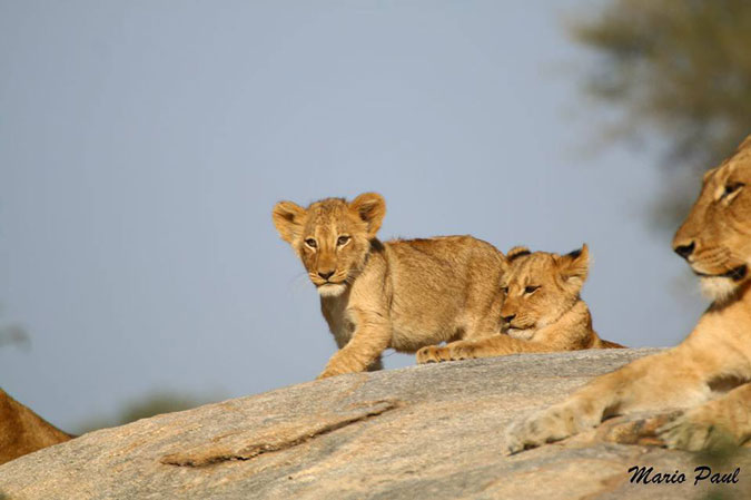 lion cubs, South Africa, safari
