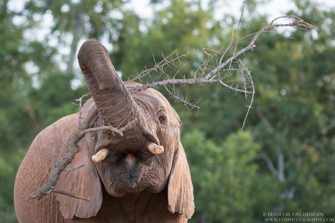 elephant, Madikwe, South Africa