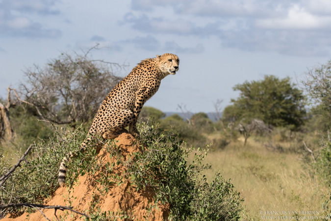 cheetah, Madikwe, South Africa