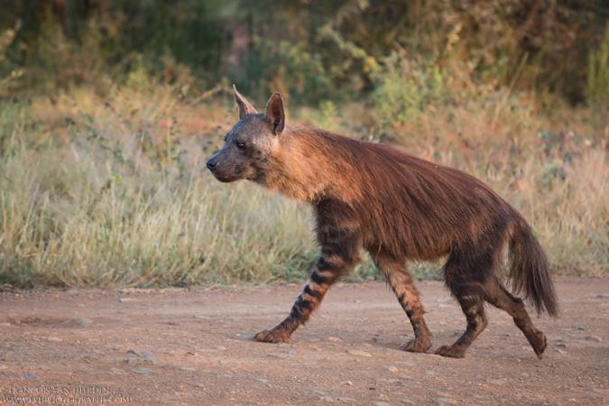 brown hyena, Madikwe, South Africa