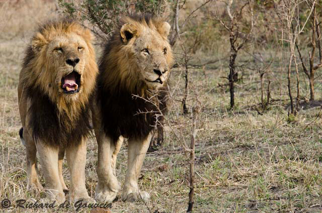 The Legend Of The Mapogo Lions Africa Geographic