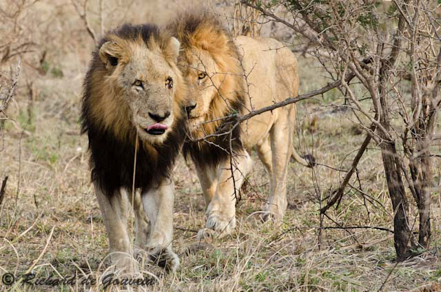 The lions of Mapogo, Sabi Sands