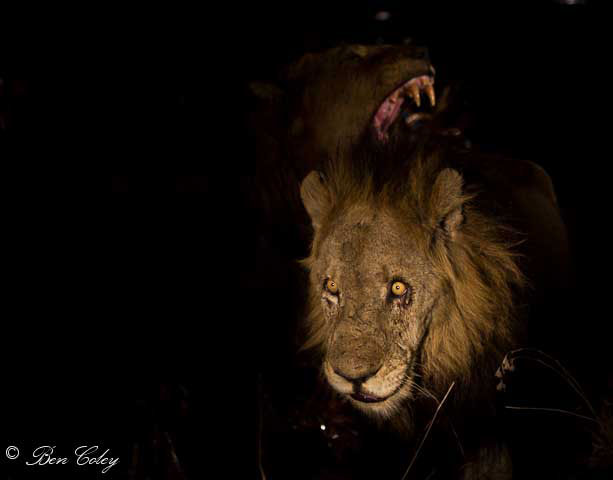 The lions of Mapogo, Sabi Sands