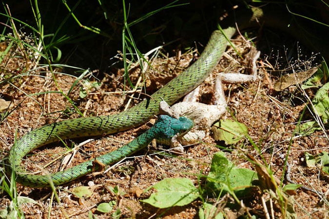 spotted bush snake eating frog, Kafunta Safaris, Zambia