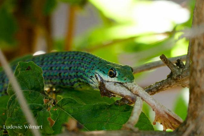 spotted bush snake eating frog in tree, Kafunta Safaris, Zambia