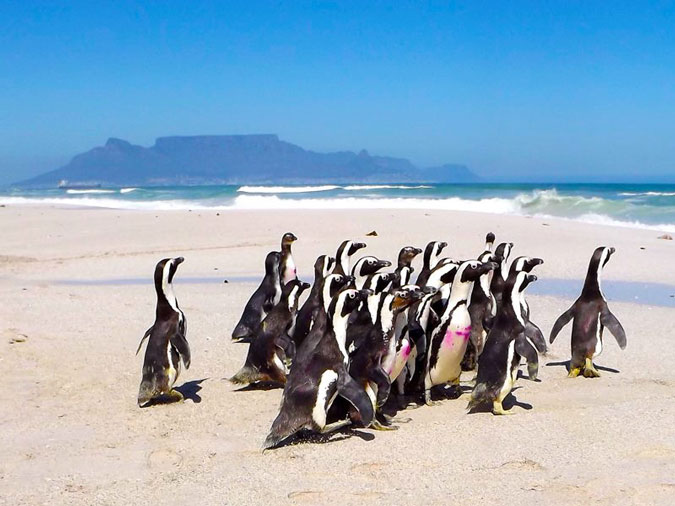 Penguins released, SANCCOB, Cape Town, South Africa