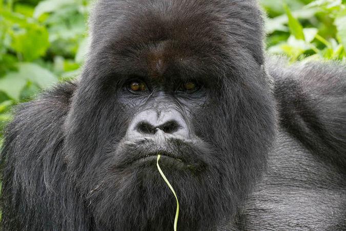 male gorilla, trekking, Uganda, Rwanda, DR Congo