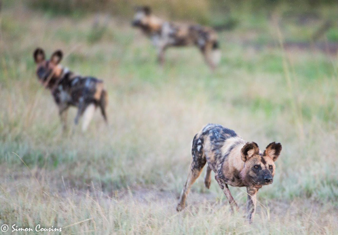 wild dogs, South Luangwa, Zambia