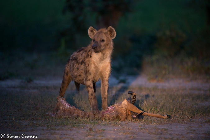 hyena with impala kill, South Luangwa, Zambia