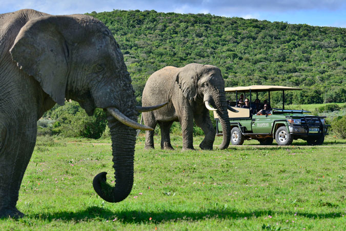 elephants, safari, Eastern Cape, South Africa