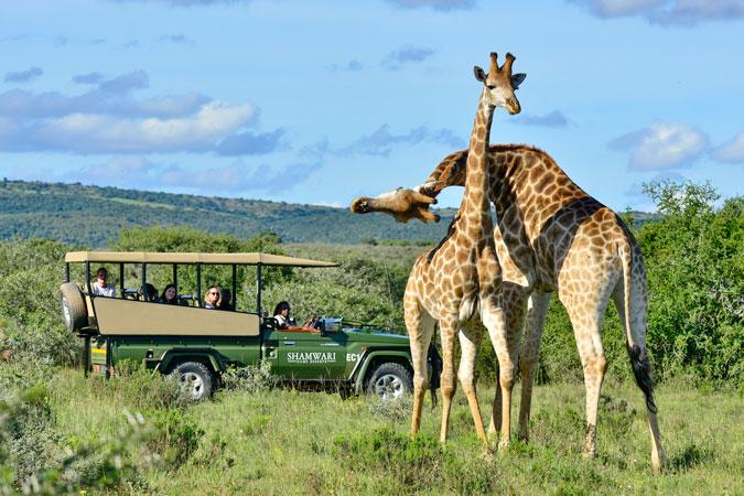 giraffe, safari, Eastern Cape, South Africa