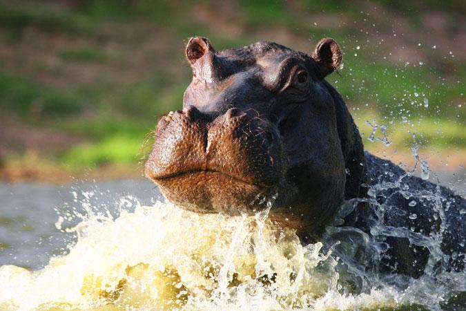 hippo, safari, Eastern Cape, South Africa